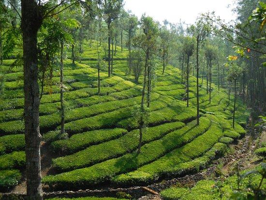 Connemara Tea Factory: plantation