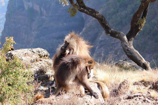 Ethiopia Explorer: Gelada monkeys at edge of plateau