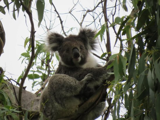 Full-Day Great Ocean Road and 12 Apostles Sunset Tour from Melbourne: Wild Koala in Otway National Park