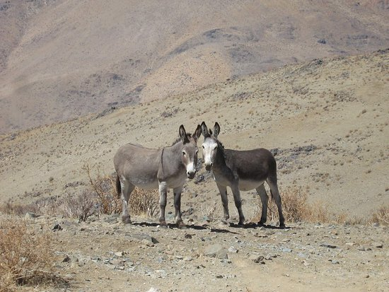 Vallenar, Cile: A couple of the Las Campanas Observatory residents.
