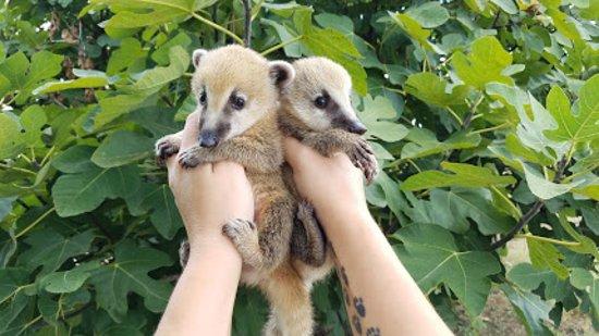 Janda Exotics Animal Ranch: Coatimundis