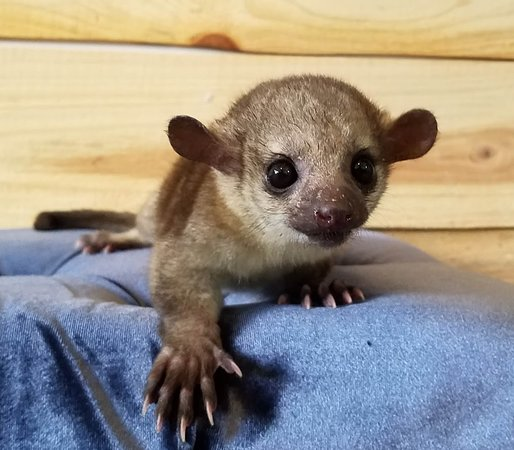 Janda Exotics Animal Ranch: Kinkajou Baby