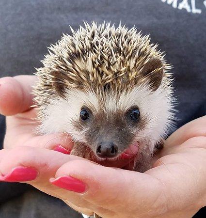 Kingsbury, Teksas: Hedgehog