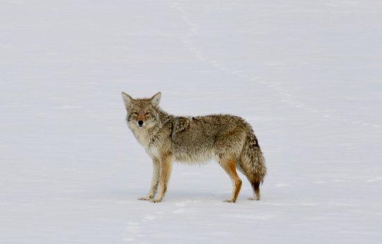 Half Day Grand Teton Wildlife Safari Tour: Same coyote from above
