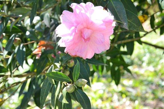 Camélia, uma das muitas espécies que pode ver numa visita à Quinta D'Avó Amélia em Alquerubim durante a primavera.