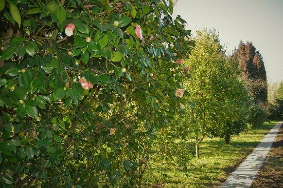 O relvado da Quinta D'Avó Amélia em Alquerubim, com as suas japoneiras floridas ao longo da primavera. A variedade das suas camélias torna este espaço muito bonito.