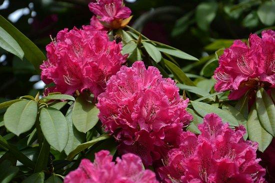 Os rododendros, magníficos arbustos, que colarem a Quinta D'Avó Amélia em Alquerubim durante a primavera