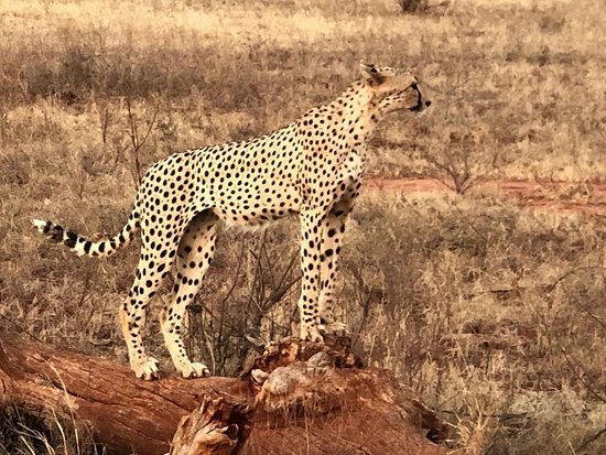African Safaris Adventures: Time to survey the area...cheetah at Tsavo East National Park.