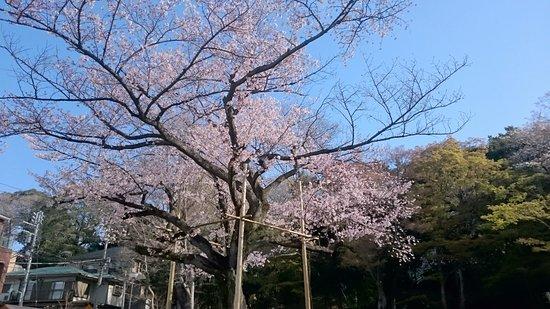 Higo-Hosokawa Garden: 日本庭園の大きなソメイヨシノです