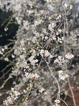 奥山田枝垂れ桜