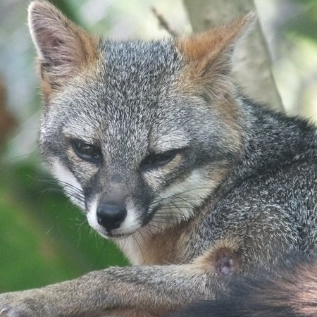 Fox in one of the enclosures, morning is best time to view before the heat sets in