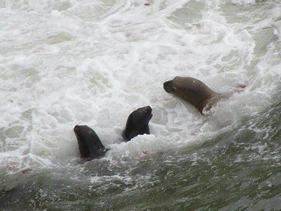 Loberia de Punta Loma: Mamá y crías saliendo a cazar en Lobería de Punta Loma