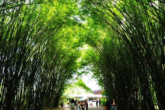 Bamboo Grove - Chulapornwararam Temple