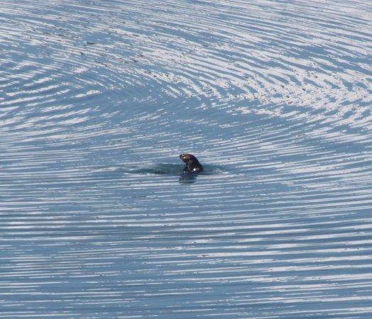 Carnival Legend: Glacier Bay National Park Harbor Seal