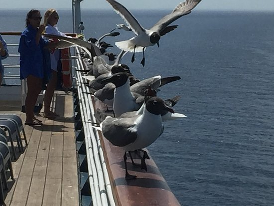 Carnival Elation: This is a picture of the sea gulls that were hanging out on the deck above the Lido deck in hopes that someone would leave some scraps of food for them on their plates.