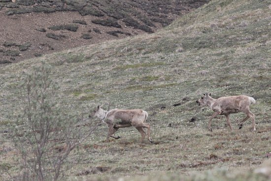 Radiance of the Seas: Caribou in Denali
