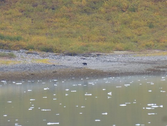 Norwegian Sun: Bear on Glacier Bay