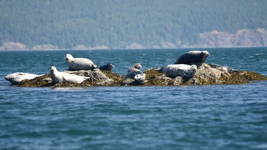 Safari Quest: Seals in the San Juan Island