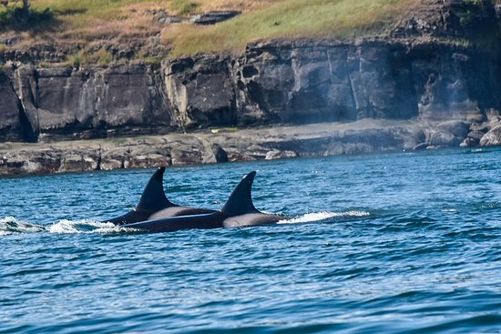 Safari Quest: Female orcas