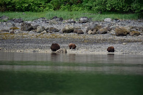 Safari Quest: Brown bears