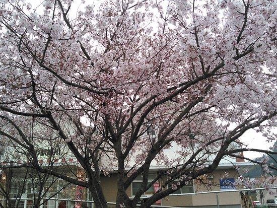 Michi-no-Eki Kakegawa: 2019.3.30(土)☔🚶🌸綺麗に咲いとるよッ🚶