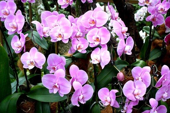 National Orchid Garden: dendrobium Kingianum