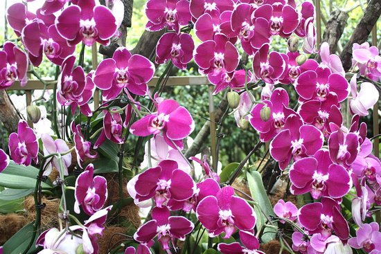 National Orchid Garden: Vanda pourpre