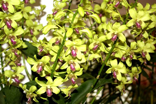 National Orchid Garden: Dendrorium Jean Chrétien