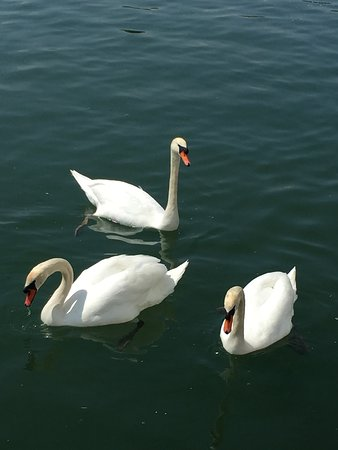 Viking Lofn: Gorgeous swans out our cabin.