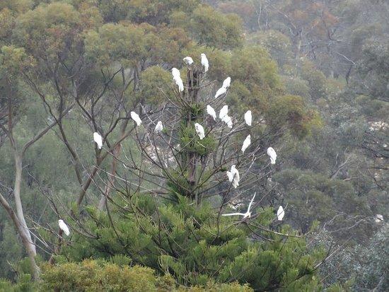 Murray Princess: Cockatoos, photographed as we cruised past