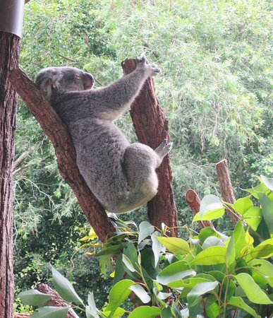 Another sleepyhead.  Did you know that Koalas can sleep up to 20 hours per day?