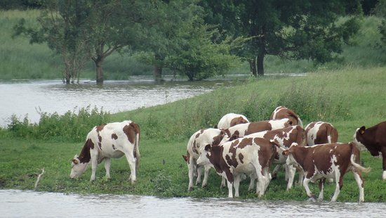 Emerald Liberte: Cows in passing on swollen Saone traveling back to Lyon.