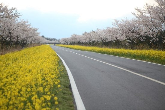 Noksan-ro Canola Flower Road
