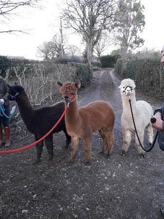 Alfreton, UK: Alpaca Walking Experience. Derbyshire.