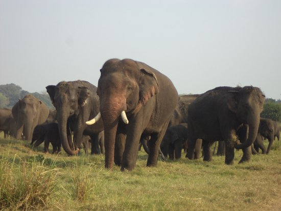 The elephant migration has started in Minneriya, Sri Lanka and the herds let by the biggest tusker living in wild Sri Lanka. Which is been followed with lots of newborns and young tuskers. https://www.srilankatoursholiday.com