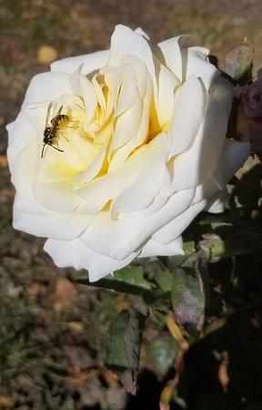 rose of Centenial Square roses garden