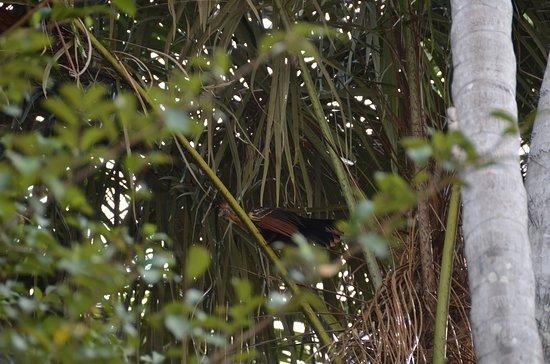Hoatzin, the prehistoric bird