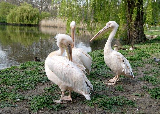 Pelicans at Duck Island Cottage Garden, St James Park