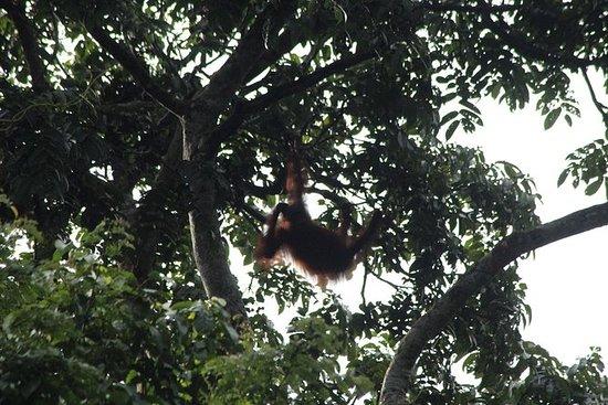 ボルネオ野生生物ツアー3日間2日Tanjung Bulatジャングルキャンプ