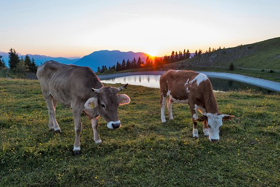 Golte: Cows at the lake