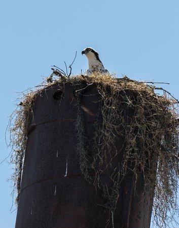 Teksas: nesting Osprey