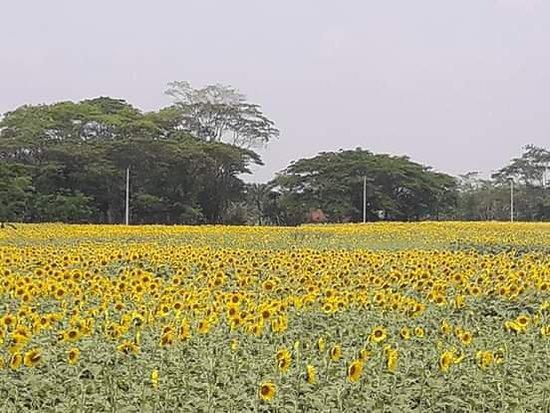 Barisal Division, Bangladesh: Sunflower Garden at Amtoli, Borguna,