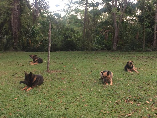 San Antonio, Belize: The four beautiful friendly resident dogs.
