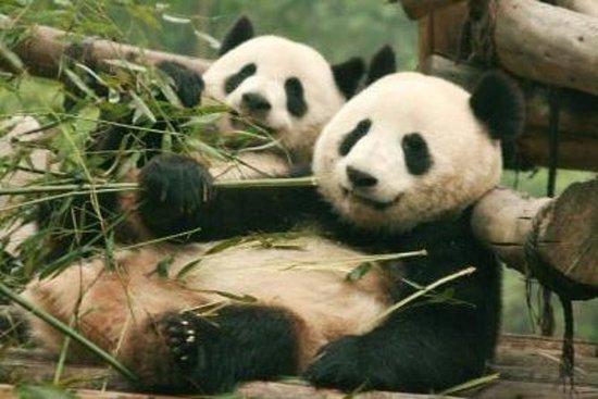 成都全日游:熊猫繁育中心和三星堆博物馆