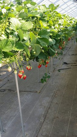 Yamamoto Strawberry Farm