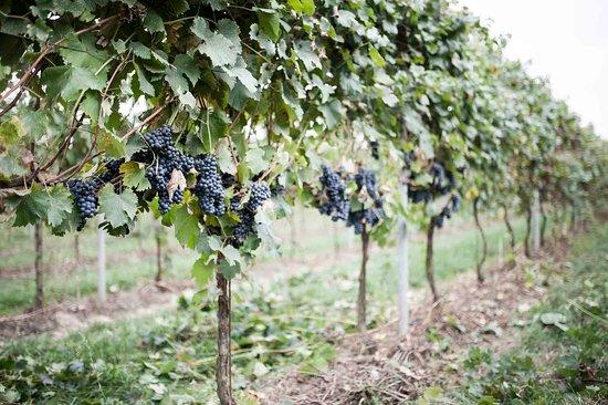 San Benedetto Po, Italia: i grappoli prima della raccolta