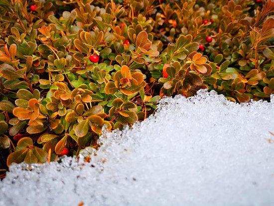 Ivdel, รัสเซีย: Неделю назад у перевала Дятлова  в лесу наткнулся на целую поляну брусники!!! Собирал с куста и горстями ел, было фантастически красиво и вкусно ;-) Теперь это кажется сном....  #экспедиция #снегоходы #шатуны96 #маньпупунер #перевалдятлова