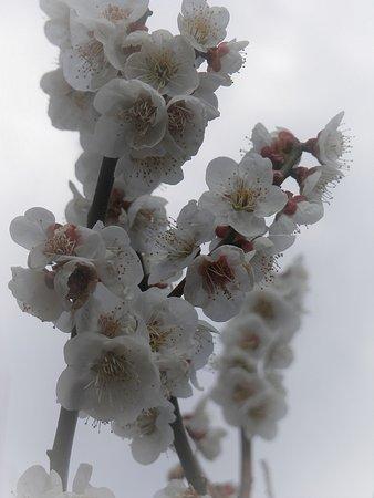 梅の花アップ写真①