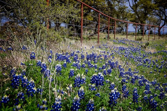 Willow City Loop: Bluebonnets everywhere.