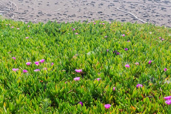 Moonstone Beach: Wildflowers between Boardwalk and Beach